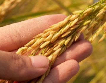 Primo piano di una spiga di riso tenuta fra le dita di una mano sinistra sullo sfondo di un campo di riso.