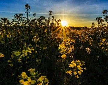 Campo di piantine verdi con fiori gialli alla base della filiera colza per olio. Sullo sfondo un cielo azzurro con sole giallo nascente dai lunghi raggi.