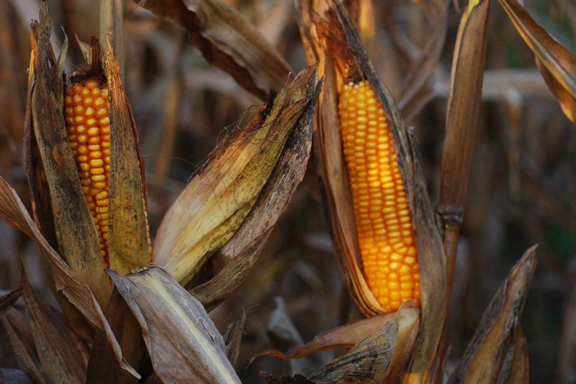 Vista ravvicinata di due pannocchie di mais per uso umano, ancora sulla pianta. I grani sono di colore arancione e sono circondati da un involucro fogliare di colore marrone scuro, come quello dei fusti secchi delle piante.