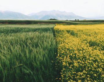 Immagine di campi coltivati: la metà sinistra dello schermo contiene una distesa di spighe verdi, la metà destra un campo di colza dai fiori gialli. All'orizzonte lontano, colline digradanti.